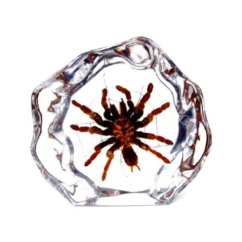 Spider Real Tarantula In Lucite - Medium