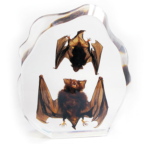 Bat Real Intermediate Horseshoe and Asian Domestic Resin - Large