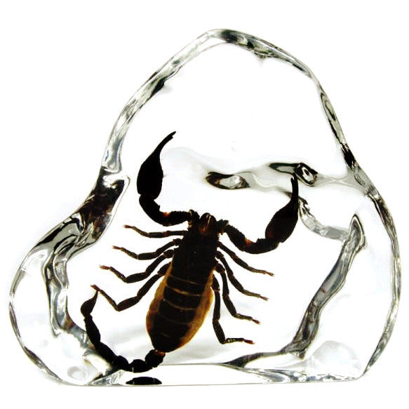Black Emperor Scorpion in Lucite - Large
