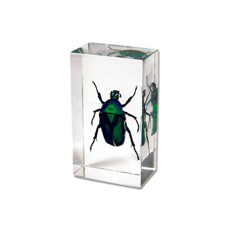 June Bug Beetle In Lucite -Small