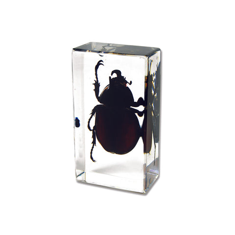 Unicorn Beetle In Lucite -Small