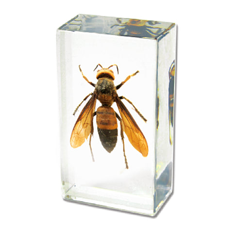 Giant Japanese Wasp In Lucite