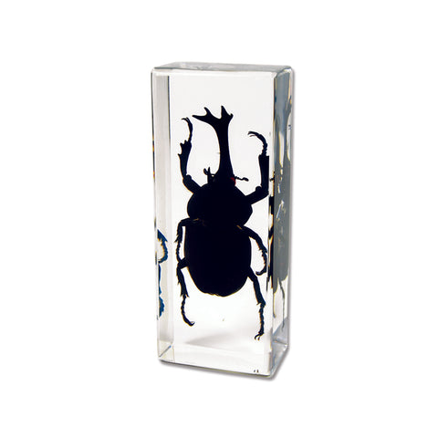 Rhinoceros Beetle In Acrylic  Lucite Resin - Medium Size