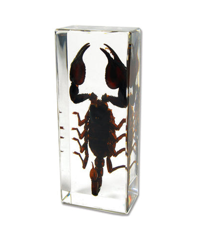 Black Emperor Scorpion Encased in Acrylic Block - Medium