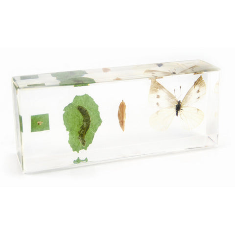 Life Cycle of a Cabbage Butterfly in Acrylic Resin