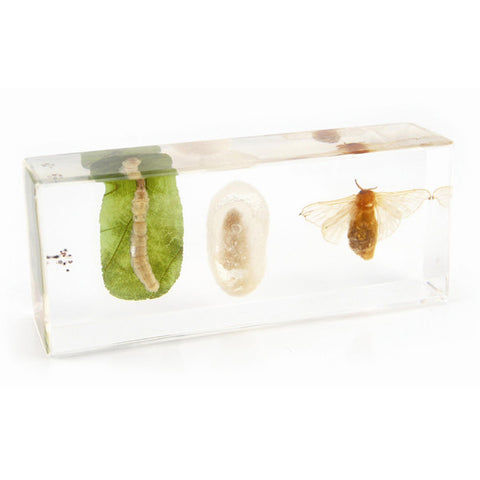 Life Cycle of a Silkworm in Acrylic Resin