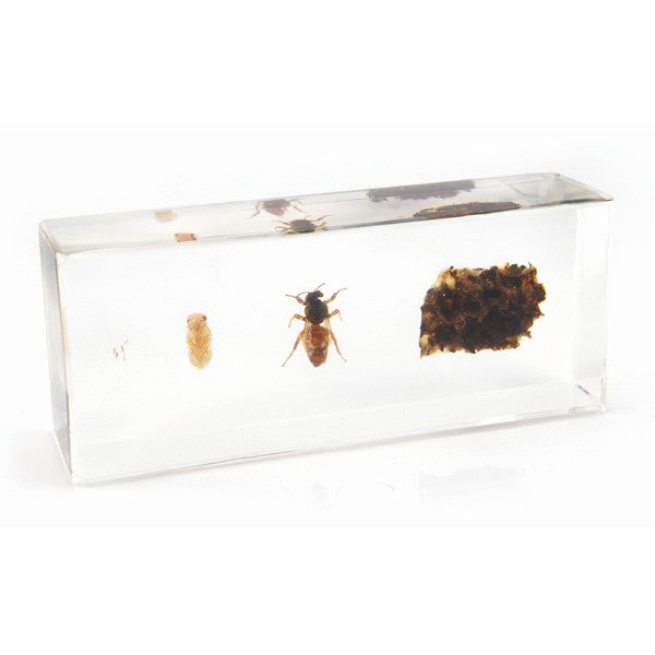 Life Cycle Of A HoneyBee in Acrylic Resin