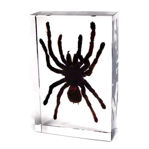 Spider Real Tarantula In Lucite - Large