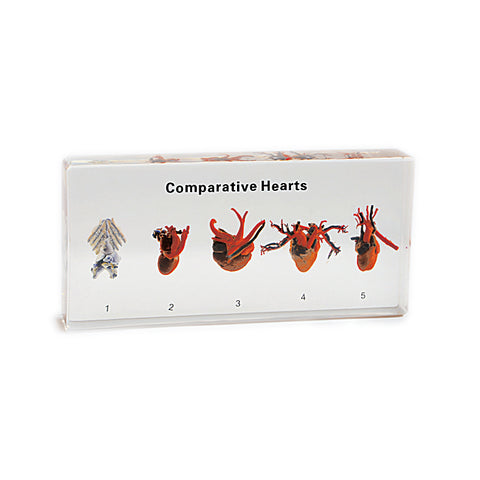 Hearts, Real Comparative Hearts With Gift Box and Identification Card
