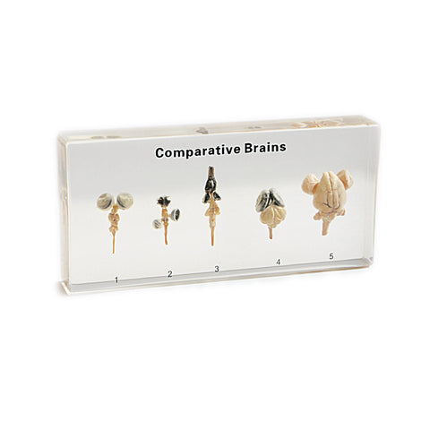 Brains, Real Comparative Brains With Gift Box and Identification Card