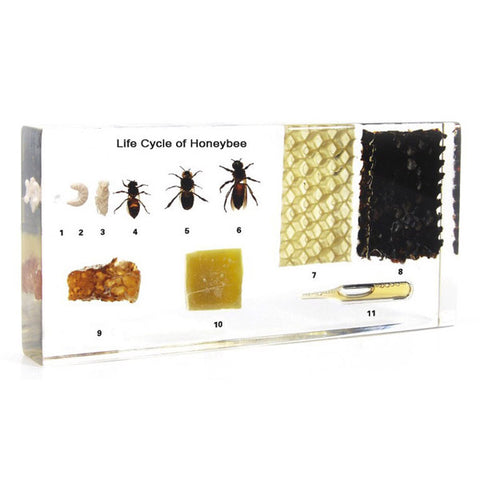 Life Cycle of a HoneyBee in Acrylic Resin (Large Size)
