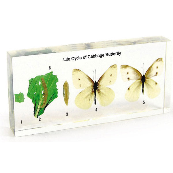 Life Cycle of a Cabbage Butterfly in Acrylic Resin (Large Size)