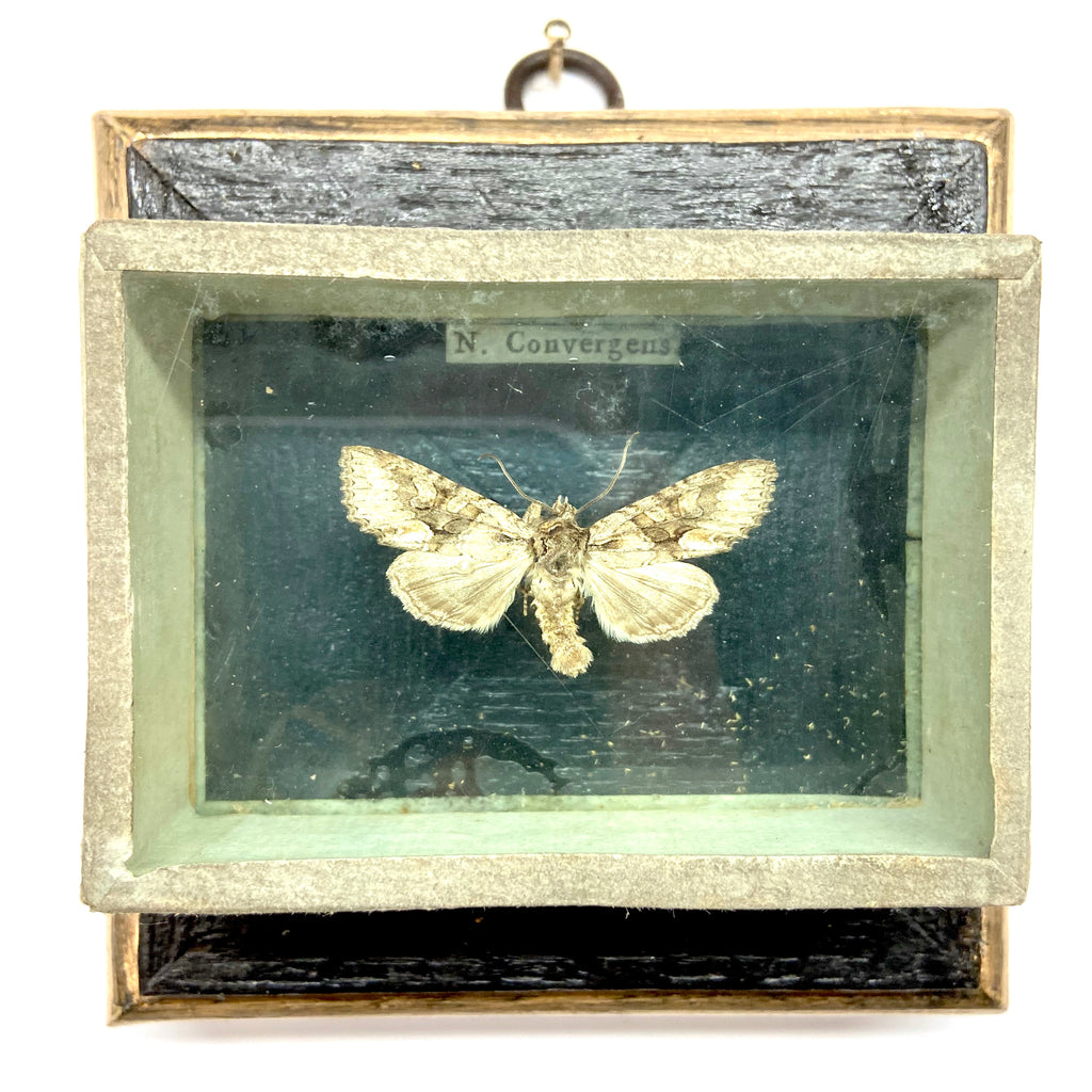 Bourbon Barrel Frame with Moth from 19th Century Collectors Cabinet (3.75