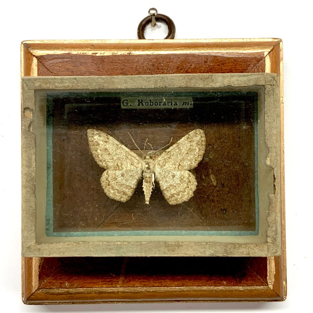 Wooden Frame with Moth from 19th Century Collectors Cabinet (3.5