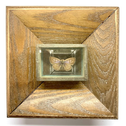 Wooden Frame with Moth from 18th Century Collector's Cabinet (4.5