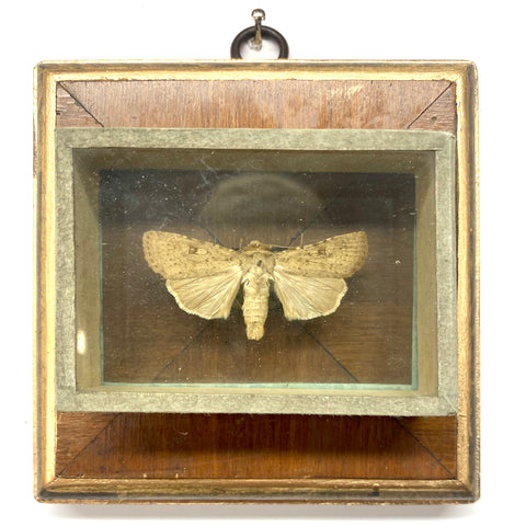 Wooden Frame with Moth from 18th Century Collector's Cabinet (4