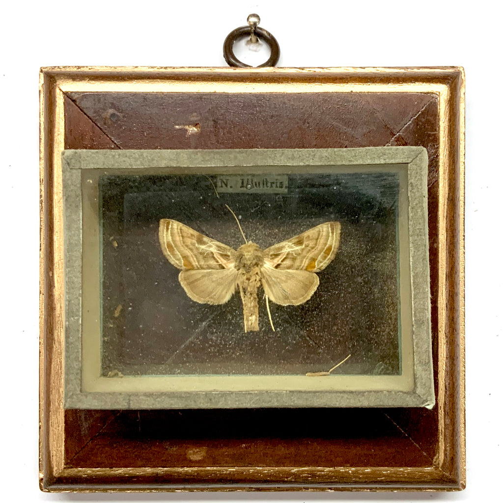 Wooden Frame with Moth from 19th Century Collectors Cabinet (4