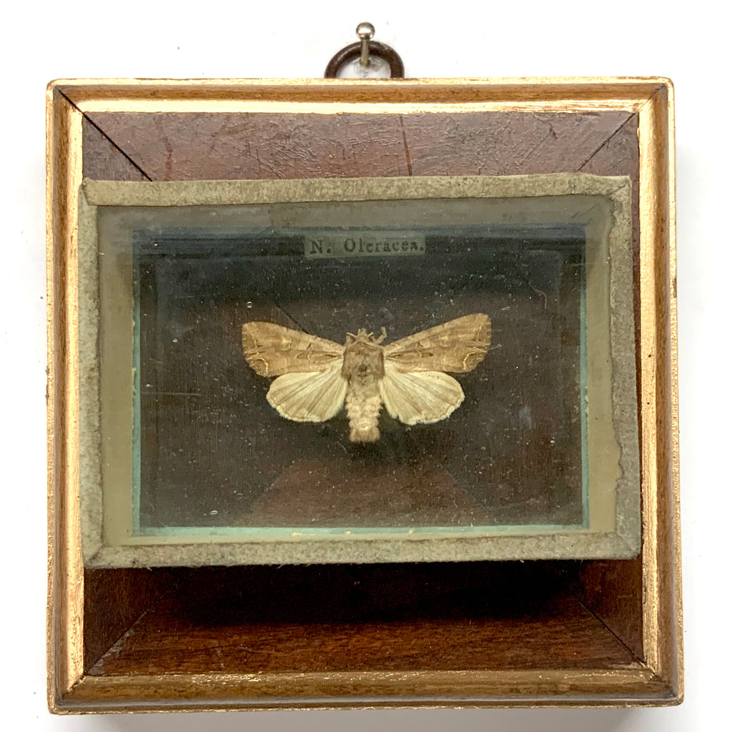 Wooden Frame with Moth from 19th Century Collectors Cabinet (4.25