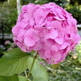 Hydrangea 'Forever Pink'