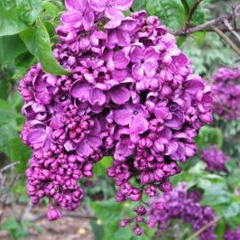 Lilac - French 'Agincourt Beauty'