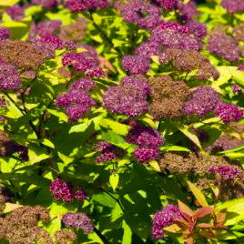 Spirea 'Goldflame'