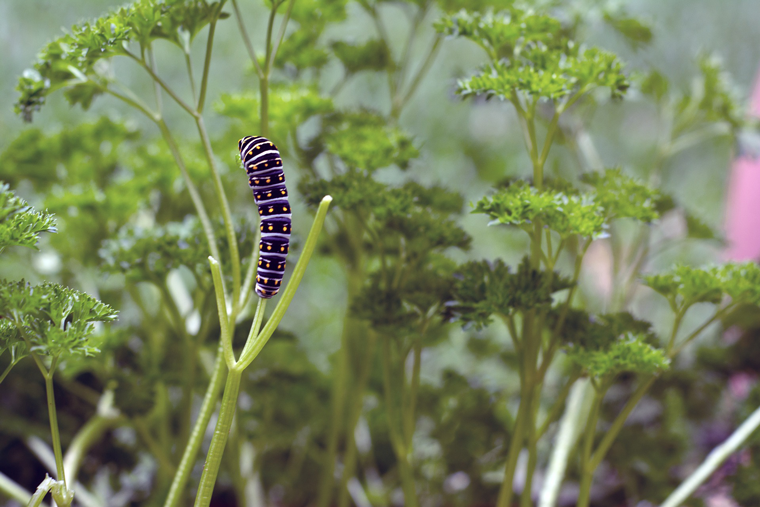 How To Attract Butterflies With Click & Grow Parsley