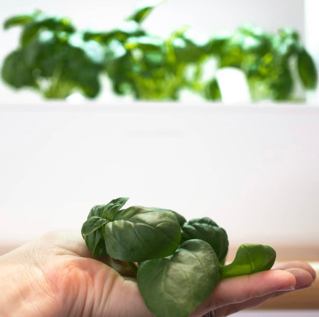 Freshly trimmed basil in the palm of a woman's hand.