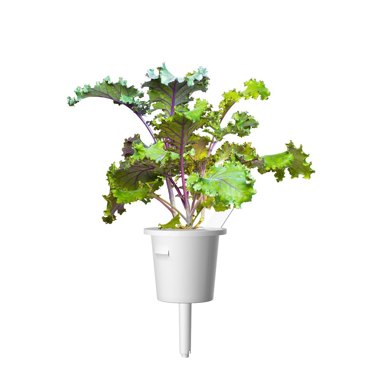 Red Kale 9-pack