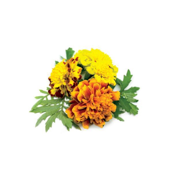 French Marigold Refill