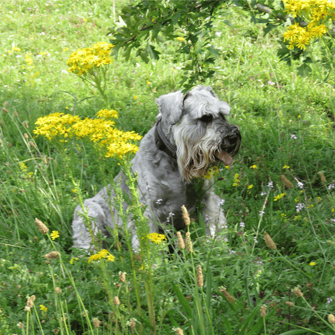 How to help your dog with hay fever