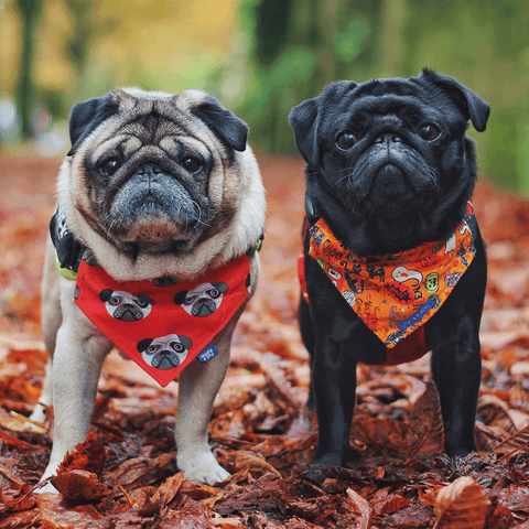 Different coloured pugs