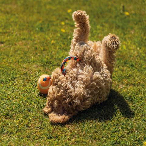 Exercise Requirements for a Cockapoo