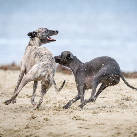 Exercise Requirement of a Greyhound