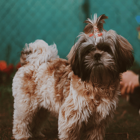 Grooming for a Shih Tzu