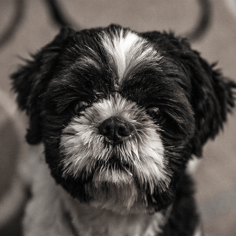 Health Issues with Shih Tzu's
