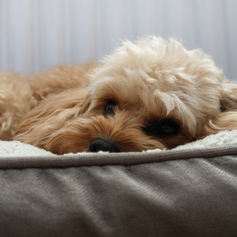 Health Issues of a Cavapoo Dog