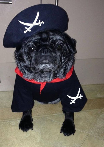 Pug in a sailor outfit.