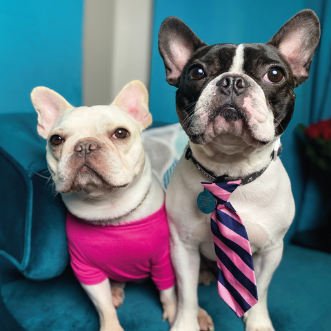 Size and Colour of the French Bulldog