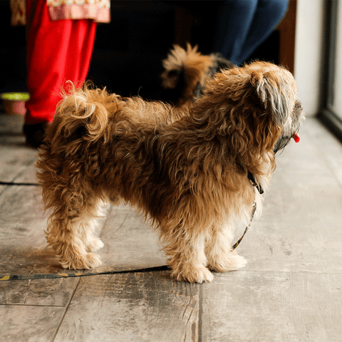 Size and Colours of Shih Tzu's