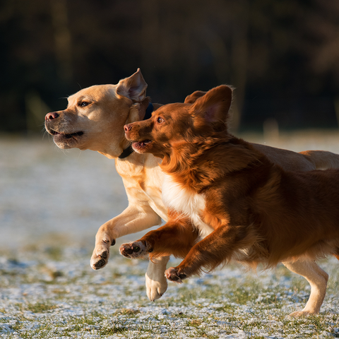 Treatment for obesity in dogs