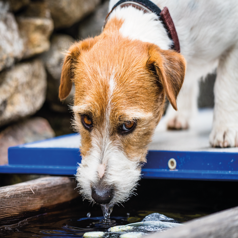 Causes that your Dog is Dehydrated