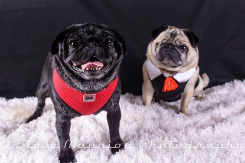 Two pugs posing for a photoshoot.