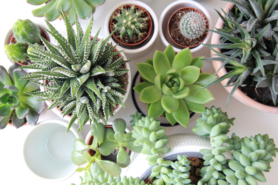 Potted succulents arranged on a white table