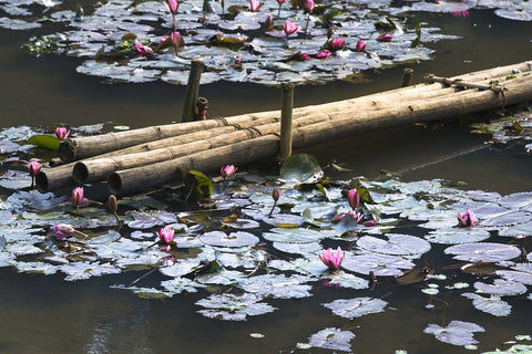 Lotus flowers in a lake in Asia