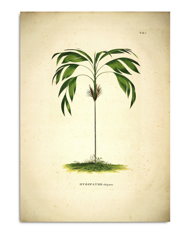 Encyclopedic Print Hyospathe Elegans
