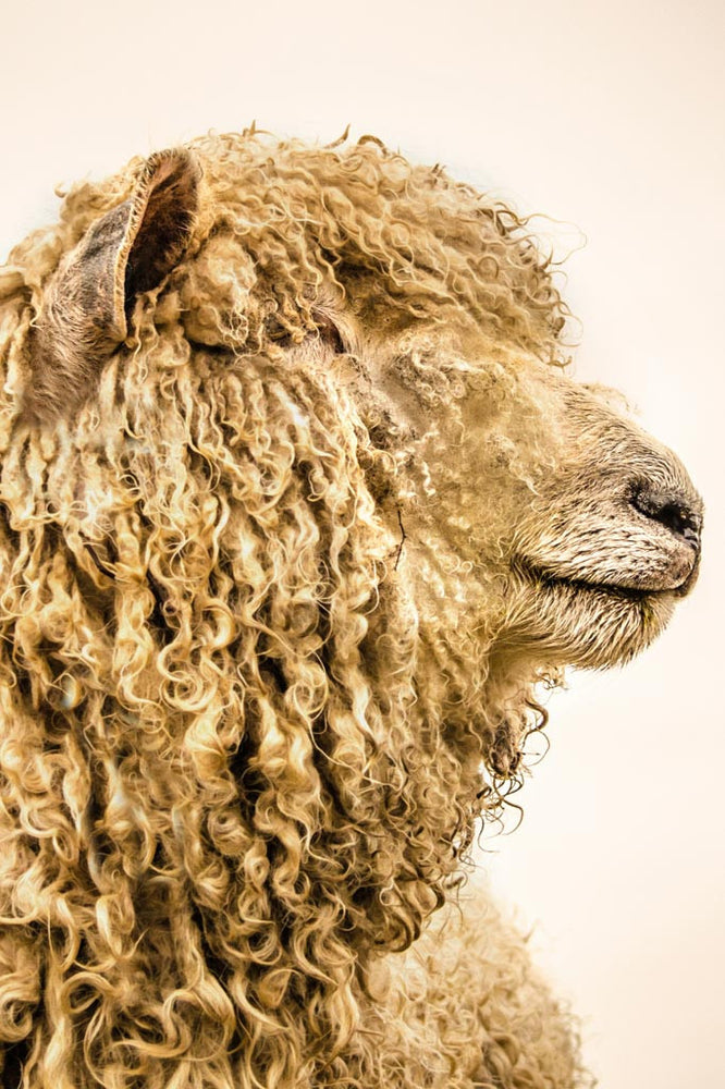 Curly is a photograph of a sheeps side profile