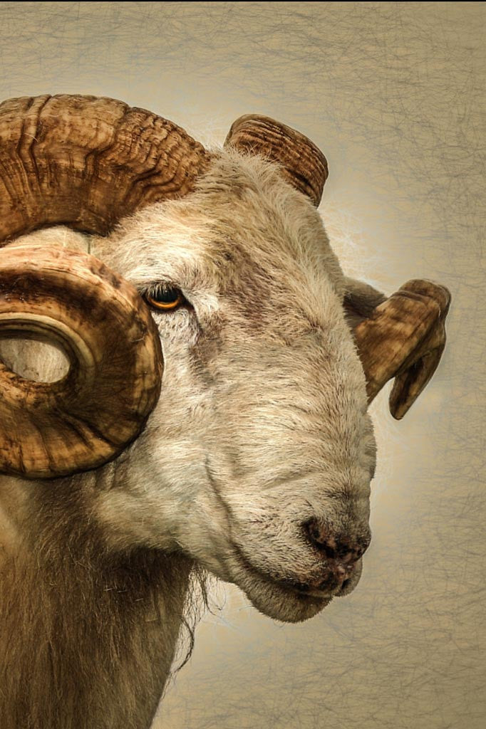 Cropped image of the Ram portrait.