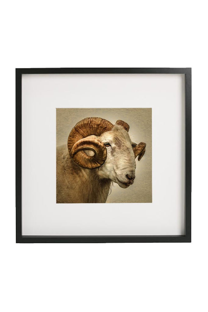 Ram portrait in a black frame with mount.