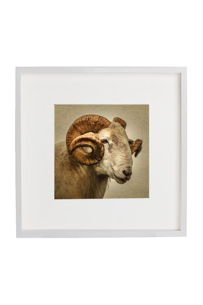Ram portrait in a white frame with mount.
