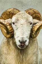 "Cropped image of ""Stare"" - a portrait of a ram looking straight down the lens of a camera."